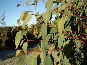 Eucalyptus olida - Image: Eucalyptus olida juvenile foliage 1