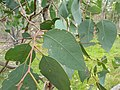 Eucalyptus polyanthemos leaves 2.jpg