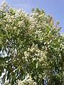 Eucalyptus torelliana 1c.JPG