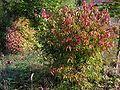 Euonymus verrucosus20090912 010.jpg