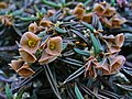 Euphorbia cylindrifolia tubifera 002.JPG