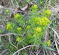 Euphorbia cyparissias (1).JPG