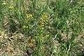 Euphorbia cyparissias in natural monument Kalamandra in spring 2012 (2).JPG