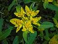 Euphorbia epithymoides 2016-04-19 7956.JPG