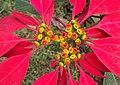 Euphorbia pulcherrima 06.JPG
