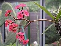 Euphorbia sp 01