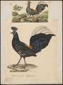 Euplocomus vieillotii - 1700-1880 - Print - Iconographia Zoologica - Special Collections University of Amsterdam - UBA01 IZ16900282.tif