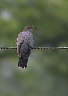 common cuckoo wikipedia