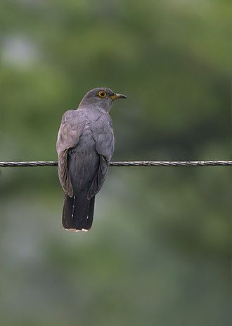 Common cuckoo - A Eurasian Cuckoo (C.c.bakeri) from Pangolakha Wildlife Sanctuary in East Sikkim, India.