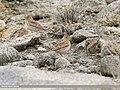 Eurasian Skylark (Alauda arvensis) (40921457743).jpg