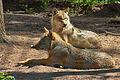 Europäischer Grauwolf (Canis lupus lupus) im Wolfcenter Barme (Dörverden) IMG 9049.jpg