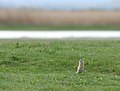 European ground squirrel - Siesel - Spermophilus citellus 02.jpg