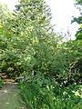 Exochorda giraldii - Botanischer Garten, Frankfurt am Main - DSC03314.JPG