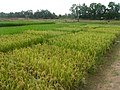 Experimental rice field at the Africa Rice Center - panoramio (4).jpg