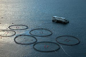 Atlantic salmon - Atlantic salmon marine cages in the Faroe Islands
