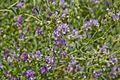 Fabaceae sp.-CTJ-IMG 6338.jpg