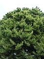 Fagus sylvatica 'Asplenifolia' Hofgarten Würzburg 2019 texture.jpg