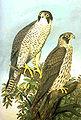 Falco peregrinus naumann.jpg
