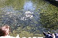 Feeding Pond at the Trout Hatchery - panoramio.jpg