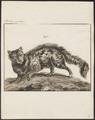 Felis catus - 1775-1781 - Print - Iconographia Zoologica - Special Collections University of Amsterdam - UBA01 IZ22100294.tif