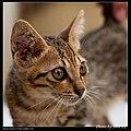 Felis silvestris catus (6025767962).jpg
