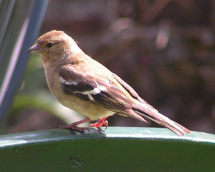 File:Female Chaffinch 800.jpg