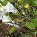 Female Painted Bunting (5270948702).jpg