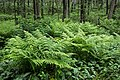 Ferns in Gullmarsskogen 1.jpg