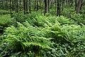 Ferns in Gullmarsskogen 1.jpg