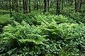 Ferns in Gullmarsskogen 3.jpg