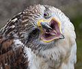 Ferruginous Hawk 2 (4451326330).jpg