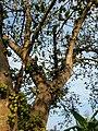 Ficus racemosa 16.jpg
