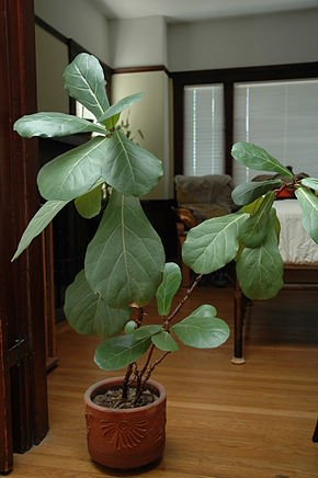 Description de l'image Fiddle_Leaf_Fig_in_pot.jpg.