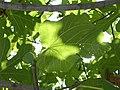 Fig and leaf, Thasos.jpg