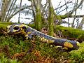 Fire Salamander (Salamandra salamandra) (13532310553).jpg