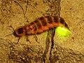 Firefly Nevit 02663 cr.jpg