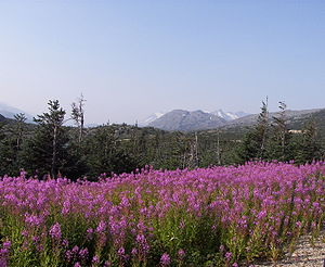 Klondike Highway - Fireweed is prominent in various locations on the Klondike Highway (this is in the vicinity of Summit Lake and Bernard Lake in British Columbia).