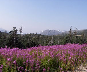 Fireweed on the Klondike Highway, British Columbia 7.jpg