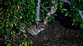 Fishing cat amidst mangroves.jpg