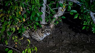 Fishing cat Small wild cat