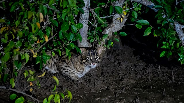 [Image: 640px-Fishing_cat_amidst_mangroves.jpg]