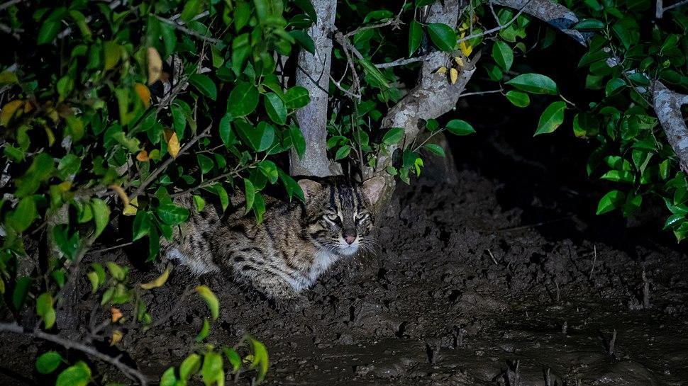 Fishing cat amidst mangroves