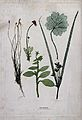 Five plants, including a grass, a sedge and a plant of the B Wellcome V0043936.jpg