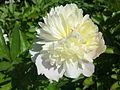 Fleur de pivoine à Grez-Doiceau 003.jpg