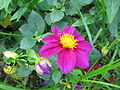 Fleurs au jardin des iris - Jardin des Plantes Paris 9.JPG