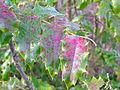 Flickr - brewbooks - Mahonia aquifolium Discovery Park.jpg