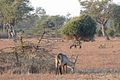 Flickr - ggallice - Grazing waterbuck at sunrise.jpg
