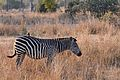 Flickr - ggallice - Plains zebra.jpg
