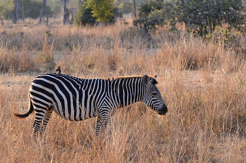 File:Flickr - ggallice - Plains zebra.jpg