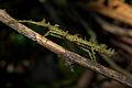 Flickr - ggallice - Weird stick-bug, Biotopo del Quetzal.jpg